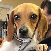 Adopt A Pet :: Chloe **ADOPTION PENDING** - Fairfax, VA