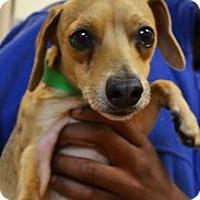 Adopt A Pet :: Chiwee - Miami, FL