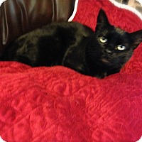 Bombay Cat for adoption in Burbank, California - Sweet Valentina-URGENT