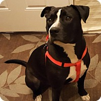Pit Bull Terrier/Boxer Mix Dog for adoption in Livonia, Michigan - Kaiser