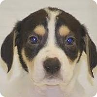 Adopt A Pet :: M Pup Malik - Baltimore, MD
