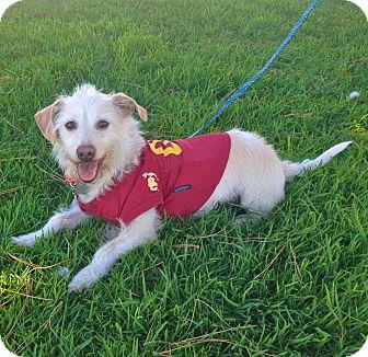 Westie, West Highland White Terrier/Corgi Mix Dog for adoption in Burbank, California - Adorable Max-VIDEO