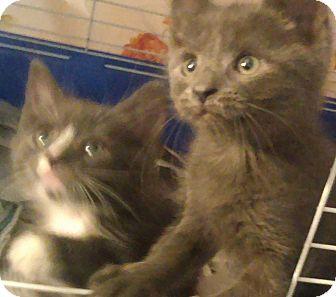 Russian Blue Kitten for adoption in Whitestone, New York - River n Phoenix