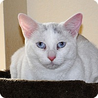 Turkish Van Cat for adoption in Palmdale, California - Harmony