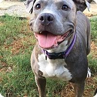 Adopt A Pet :: Amberlynn - Colmar, PA