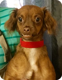 Papillon/Chihuahua Mix Dog for adoption in Phoenix, Arizona - Phyllis Diller
