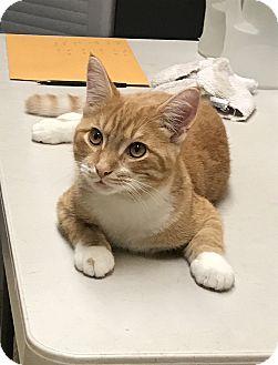 Domestic Shorthair Kitten for adoption in Barrington Hills, Illinois - Steve
