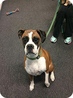 Boxer Dog for adoption in Reno, Nevada - Loki