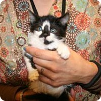 Domestic Shorthair Kitten for adoption in Wildomar, California - 319729