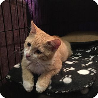 American Shorthair Kitten for adoption in New York, New York - Gustavo