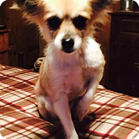 Pomeranian/Chihuahua Mix Dog for adoption in Waldron, Arkansas - WENDY BARKLEY