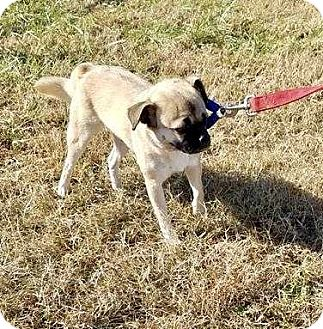 Pug/Chihuahua Mix Dog for adoption in Halifax, North Carolina - Angel