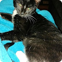 Domestic Shorthair Kitten for adoption in Cherry Hill, New Jersey - Link