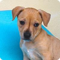 Adopt A Pet :: Barbarella - Los Angeles, CA