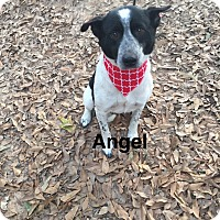 Adopt A Pet :: Angel - Manchester, CT