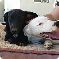 Adopt A Pet :: Snow --- FOSTER TO ADOPT FINE - cupertino, CA