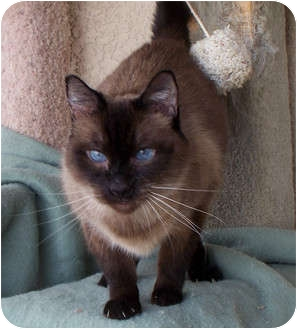 Siamese Cat for adoption in Palmdale, California - Sebastian