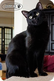 Domestic Shorthair Cat for adoption in Columbia, Maryland - Mr. Kitty