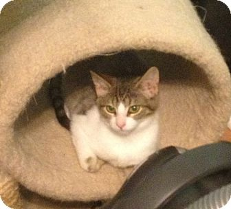 Domestic Shorthair Kitten for adoption in Richfield, Ohio - Ada Lou