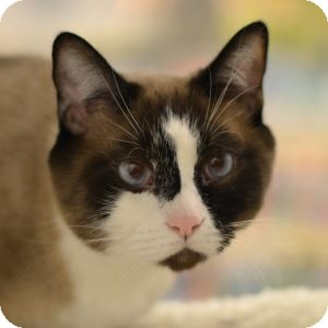 Siamese Cat for adoption in Gilbert, Arizona - Shyloh