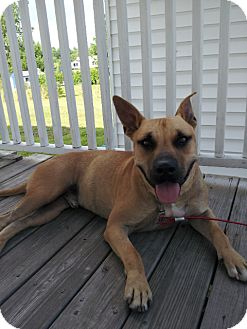 Shepherd (Unknown Type)/Australian Cattle Dog Mix Dog for adoption in Glastonbury, Connecticut - Hamlett Fostered in N England!