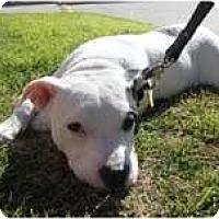 Adopt A Pet :: Ivy - Rowlett, TX