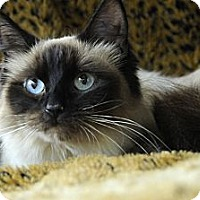 Adopt A Pet :: Sweet Godiva - Columbus, OH