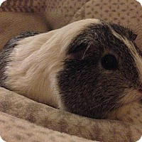 Adopt A Pet :: Bettina - Fullerton, CA