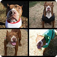 American Staffordshire Terrier/American Pit Bull Terrier Mix Dog for adoption in Columbus, Mississippi - Papi