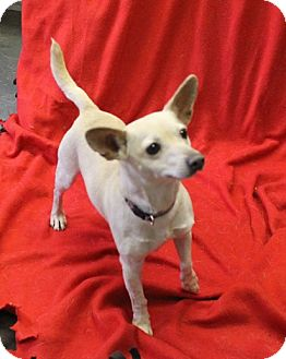 Chihuahua/Terrier (Unknown Type, Small) Mix Dog for adoption in Delaware, Ohio - Holly