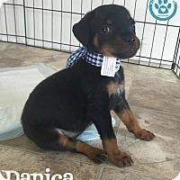 Adopt A Pet :: Danica - Kimberton, PA