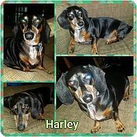 Adopt A Pet :: Harley - Pinellas Park, FL