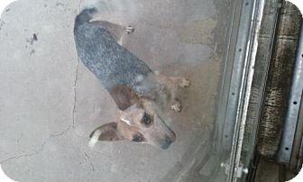 Australian Cattle Dog/Cattle Dog Mix Dog for adoption in Springfield, Ohio - Matilda