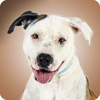 Pit Bull Terrier Mix Dog for adoption in Prescott, Arizona - Dexter