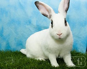 Mini Rex for adoption in Pflugerville, Texas - Caerphilly