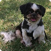 Shih Tzu Dog for adoption in North Richland Hills, Texas - Max