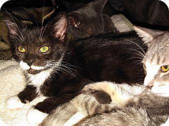 Domestic Shorthair Kitten for adoption in Whitehall, Pennsylvania - Ruca