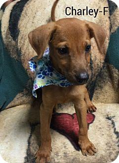 Golden Retriever/Shepherd (Unknown Type) Mix Puppy for adoption in Burlington, Vermont - Charley