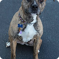 American Staffordshire Terrier Mix Dog for adoption in Manitowoc, Wisconsin - Athena