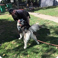 Alaskan Malamute Dog for adoption in Elmsford, New York - Niko