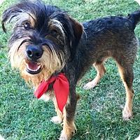 Adopt A Pet :: Baxter - Bedford, TX