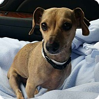Dachshund Mix Dog for adoption in Princeton, Minnesota - Lucy Louise