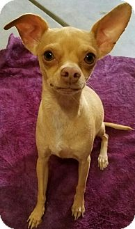 Chihuahua Mix Dog for adoption in Los Angeles, California - Dina