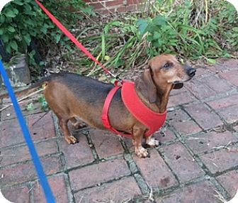Dachshund Dog for adoption in Wilmington, Delaware - Rusty