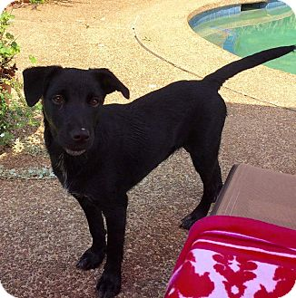 Labrador Retriever/Golden Retriever Mix Puppy for adoption in Nashville, Tennessee - OCTAVIA