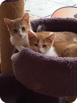 Domestic Shorthair Kitten for adoption in Fairfax, Virginia - Hickory, Elm and Oak