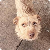 Adopt A Pet :: TEDDY - Emeryville, CA