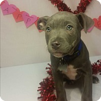 Adopt A Pet :: Popper-Pending! - Detroit, MI