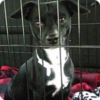 Adopt A Pet :: Lilo's Puppies - Wytheville, VA