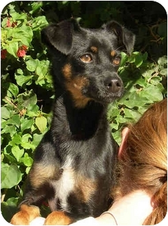 Dog Ready For Adoption Manchester Terrier Miniature ...